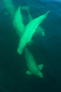 Curious beluga whales, Churchill river estuary, Manitoba